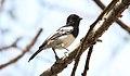 White-bellied Tit (Melaniparus albiventris) (44760102370).jpg