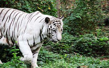 White BIG CAT.jpg