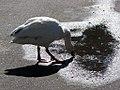 White Goose (3899274239).jpg