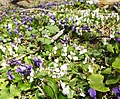 White and purple violets in Ontario forest (26131252443).jpg