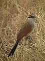 White browed coucal in Tanzania 3142 Nevit.jpg