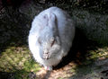 White rabbit (genus of Oryctolagus) at Kambalakonda.JPG