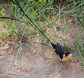 Whydah Shaft-tailed 2007 0107 1232 25AA.jpg