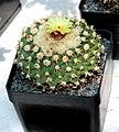 Wigginsia fricii Succulents exhibition in Botanical Garden of Charles University 2016.jpg