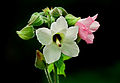 Wild Hibiscus by N A Nazeer.jpg