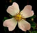 Wild Rose Flower on Hedon Flyover - geograph.org.uk - 1360886.jpg