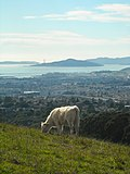 Wildcat Canyon Hike - Cow on Hill (3264386083).jpg