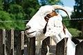 Wildpark Besuch, 2015 (19564900609).jpg
