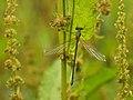 Willow Emerald Damselfly (Chalcolestes viridis), Parc de Woluwé, Brussels (14859904360).jpg