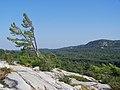 Wind swept pine - Killarney Provincial Park.JPG