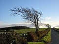Windswept Tree Near Gatehead - geograph.org.uk - 291168.jpg