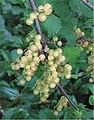 Witte bessen (Ribes rubrum).jpg