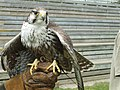 Woburn Safari Park - Hawk - geograph.org.uk - 909005.jpg