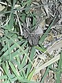 Wolf spider moving through prairie grass at night.jpg