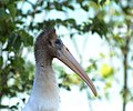 Wood Stork (36361821942).jpg