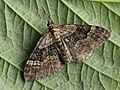 Xanthorhoe quadrifasciata - Large twin-spot carpet - Ларенция четырёхполосая (27089085388).jpg