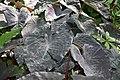 Xanthosoma sagittifolium 6zz.jpg