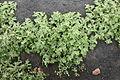 Yaiza - LZ-30 - Mesembryanthemum crystallinum 01 ies.jpg