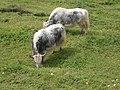 Yaks on pasture RHu.jpg
