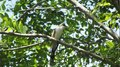 File:Yellow-billed Cuckoo (Coccyzus americanus).webm