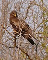 Yellow-billed Kite (Milvus parasitus) (32114917032).jpg