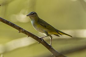 Yellow-green Vireo - Carara - Costa Rica S4E0062 (26670622936).jpg