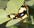 Yellow Pansy (Junonia hierta)- Male in Hyderabad, AP W IMG 1363.jpg