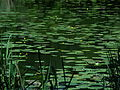 Yellow pond lilies, Rosskopfarm, abandoned meander of the river Danube.JPG