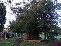 Yew tree at Peterchurch - geograph.org.uk - 1758440.jpg