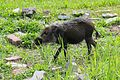 Young Bearded Pig (27021028294).jpg