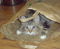 Young Maine Coon in paper bag.png