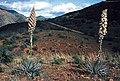 Yucca whipplei fh 1186.9 CAL B.jpg