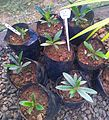 Z Bois de Rat - Tarenna borbonica seedlings - Ferney nursery.jpg