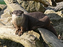 Zagreb Zoo small-clawed otter 01.jpg