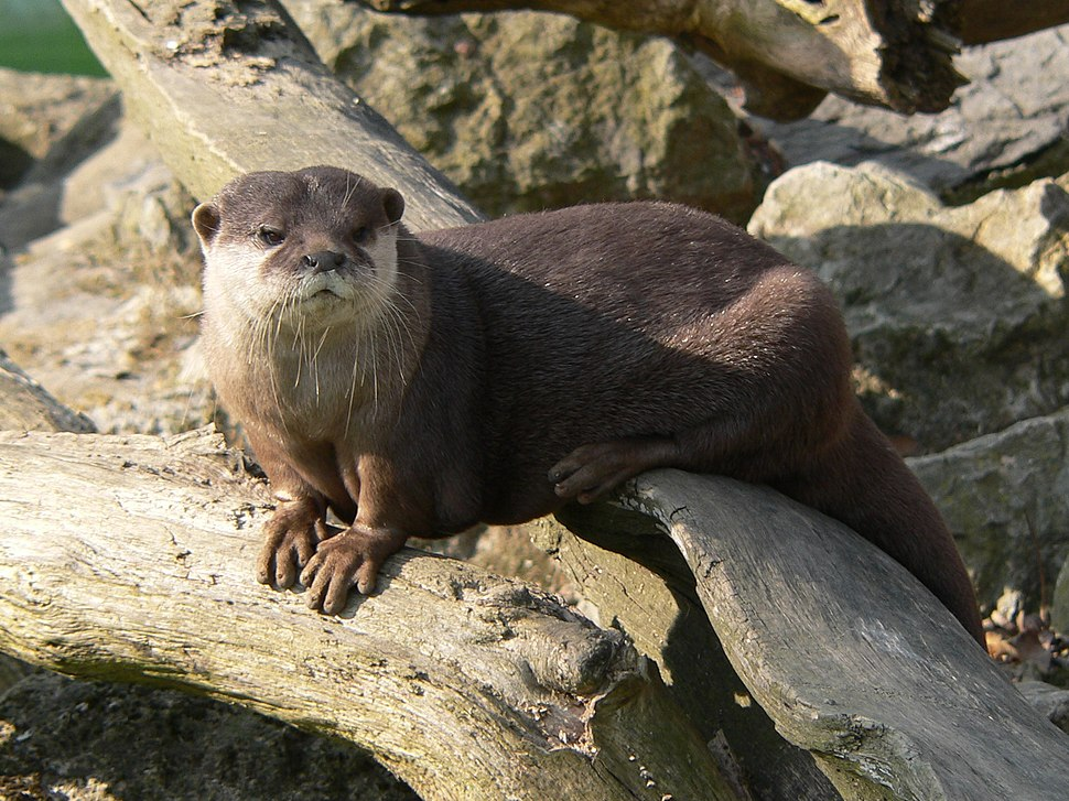 Zagreb Zoo small-clawed otter 01