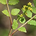 Zanthoxylum piperitum (bud male).jpg