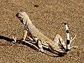 ZebraTailed-Lizard-640px.jpg