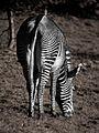 Zebra (11280085725).jpg