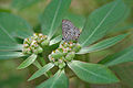 Zebra Blue (Leptotes plinius) on Euphorbia heterophylla (Painted Euphorbia) W2 IMG 9734.jpg