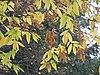 Zelkova carpinifolia1