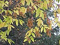 Zelkova carpinifolia1.jpg