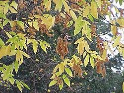feuille de l'arbre le zelkova