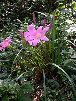 Zephyranthes carinata.jpg
