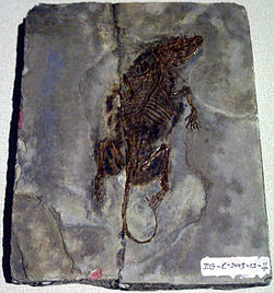 Zhangheotherium quinquecuspidens fossil displayed in Hong Kong Science Museum.