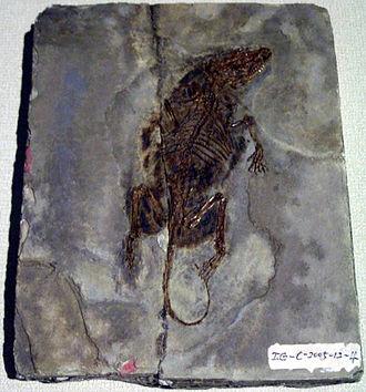 Symmetrodonta - Fossil specimen of Zhangheotherium quinquecuspidens