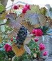 Zinfandel Cluster and Roses.jpg