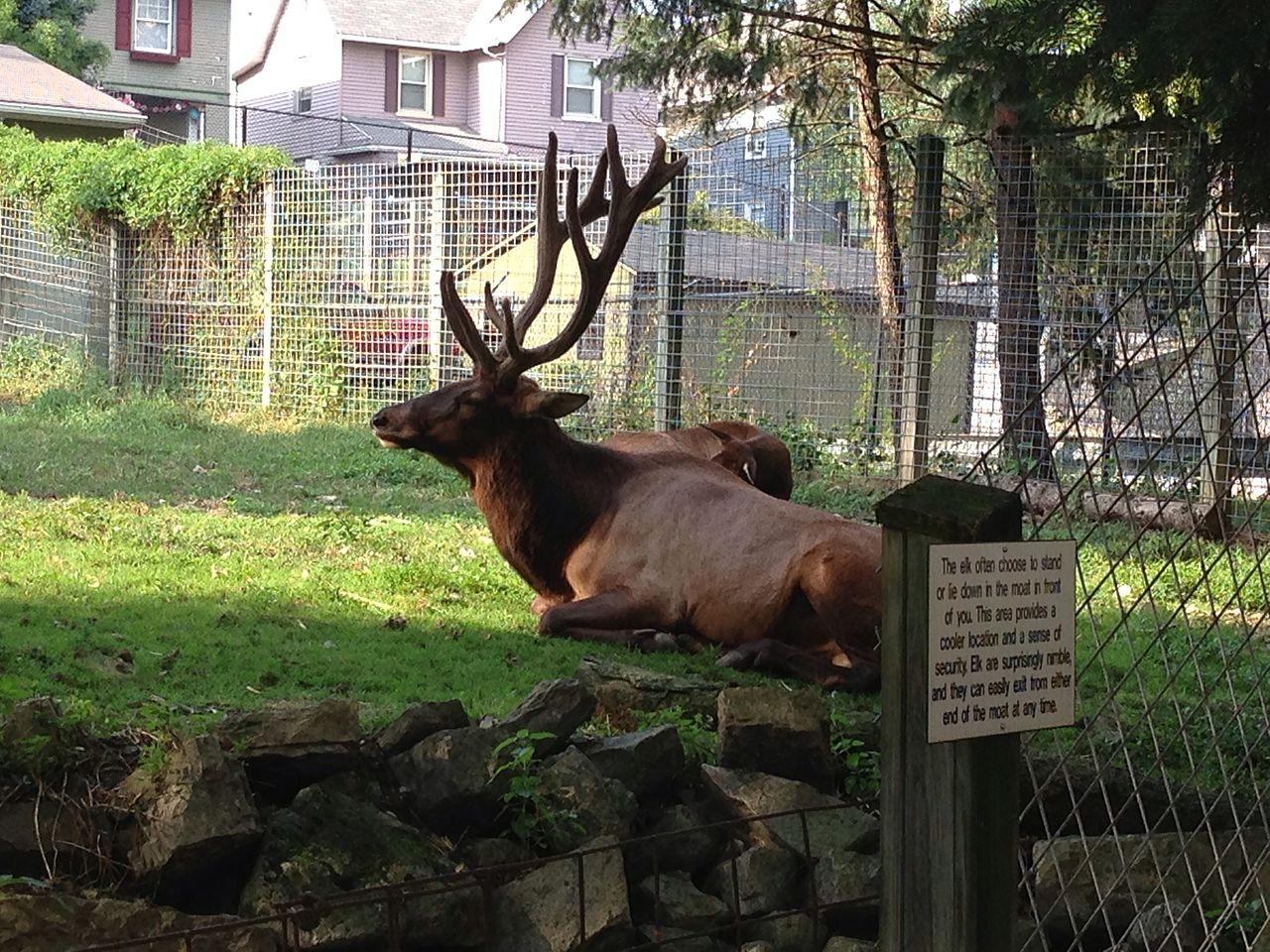 File:ZooAmerica - Elk 1, Hersheypark, 2013-08-10.jpg ...