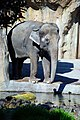 Zoo Elephant (Multnomah County, Oregon scenic images) (mulDA0009a).jpg