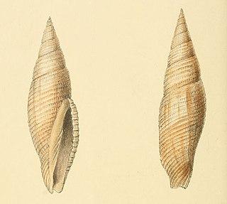 <i>Cancilla</i> Genus of gastropods