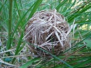 Harvest Mouse Nest